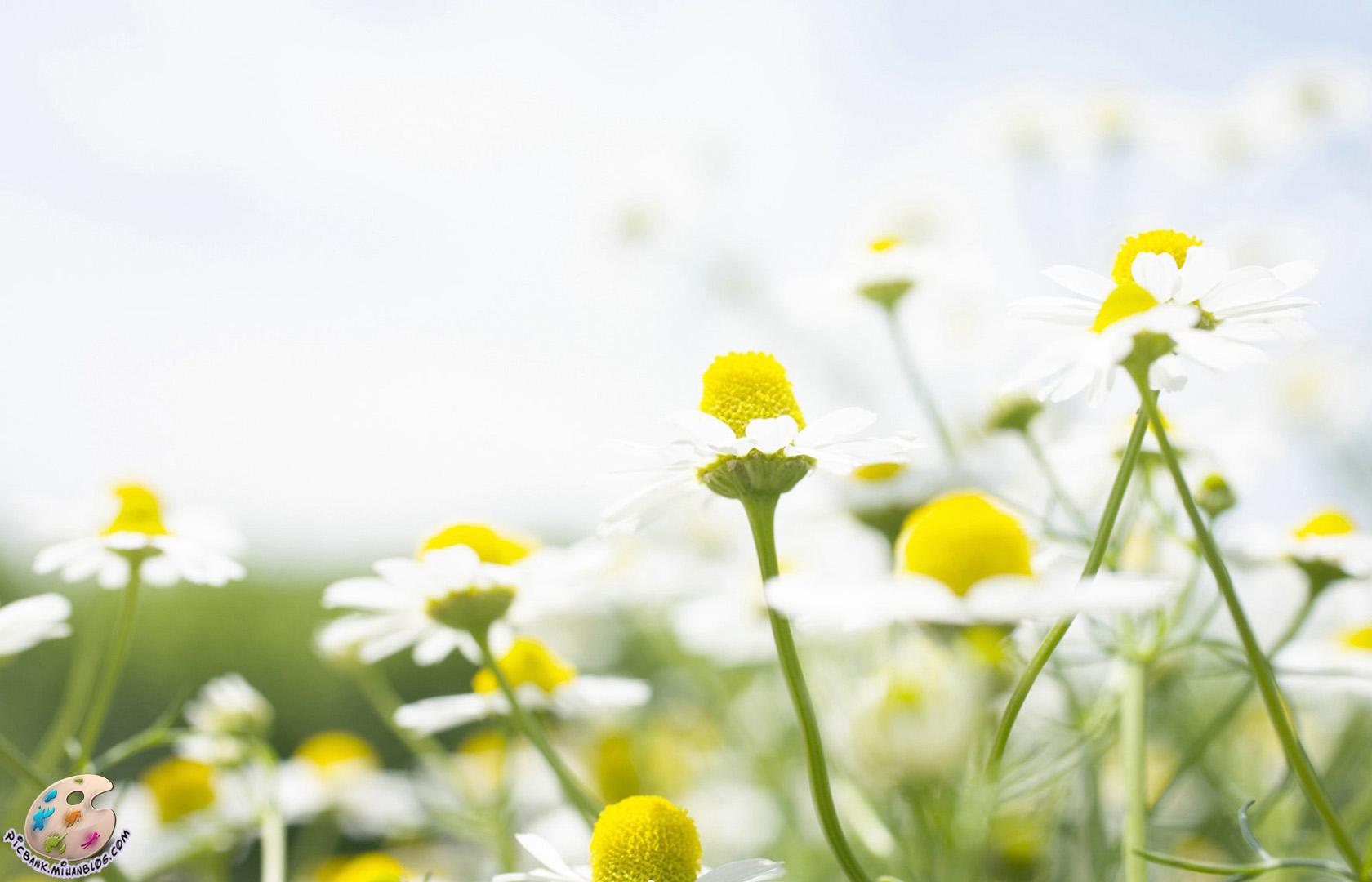 بابونه ، گل بابونه ، گلهای بابونه ، عکس گل بابونه ، عکسهای گل بابونه ، عکس بابونه ، عکسهای بابونه ، عکس ، عکسهای زیبا ، عکس های زیبا ، عکس باکیفیت ، عکس با کیفیت ، عکسهای باکیفیت ، گل ، عکس گل ، عکسهای گل ، گل و گیاه ، عکس گل و گیاه ، عکسهای گل و گیاه ، والپیپر ، والپیپرهای زیبا ، والپیپر زیبا ، والپیپر گل ، والپیپرهای گل ، والپیپر گل و گیاه ، گلهای زیبا ، گلها ، گل ها ، گل های زیبا ، عکس لطیف ، عکس دیدنی ، عکسهای دیدنی ، طبیعت ، طبیعت زیبا ، عکسهای لطیف ، والپیپر لطیف ، والپیپرهای لطیف ، گلهای رنگارنگ ، گل های رنگارنگ ، عکس گلهای رنگارنگ ، گل صحرایی ، گلهای صحرایی ، بهاری ، گل های بهاری ، بهار ، عکس بهار ، والپیپر بهار ، والپیپرهای بهار ، عکسهای بهار ، والپیپرهای زیبای بهار ، عکسهای دیدنی گل ، گلهای بهاری ، شکوفه ، شکوفه های زیبا ، شکوفه ها ، شکوفه بهاری ، شکوفه های بهاری ، شکوفه زیبا ، شکوفه زیبای بهاری ، شکوفه های زیبا ، شکوفه های زیبای بهاری ، عکس شکوفه ، عکسهای شکوفه ، والپیپر شکوفه ، والپیپرهای شکوفه ، والپیپر بهار ، والپیپرهای بهار ، بک گراند ، بکگراند ، عکس دسکتاپ ، عکسهای دسکتاپ ، عکس بک گراند ، عکسهای بک گراند ، بک گراند کامپیوتر ، دسکتاپ کامپیوتر ،