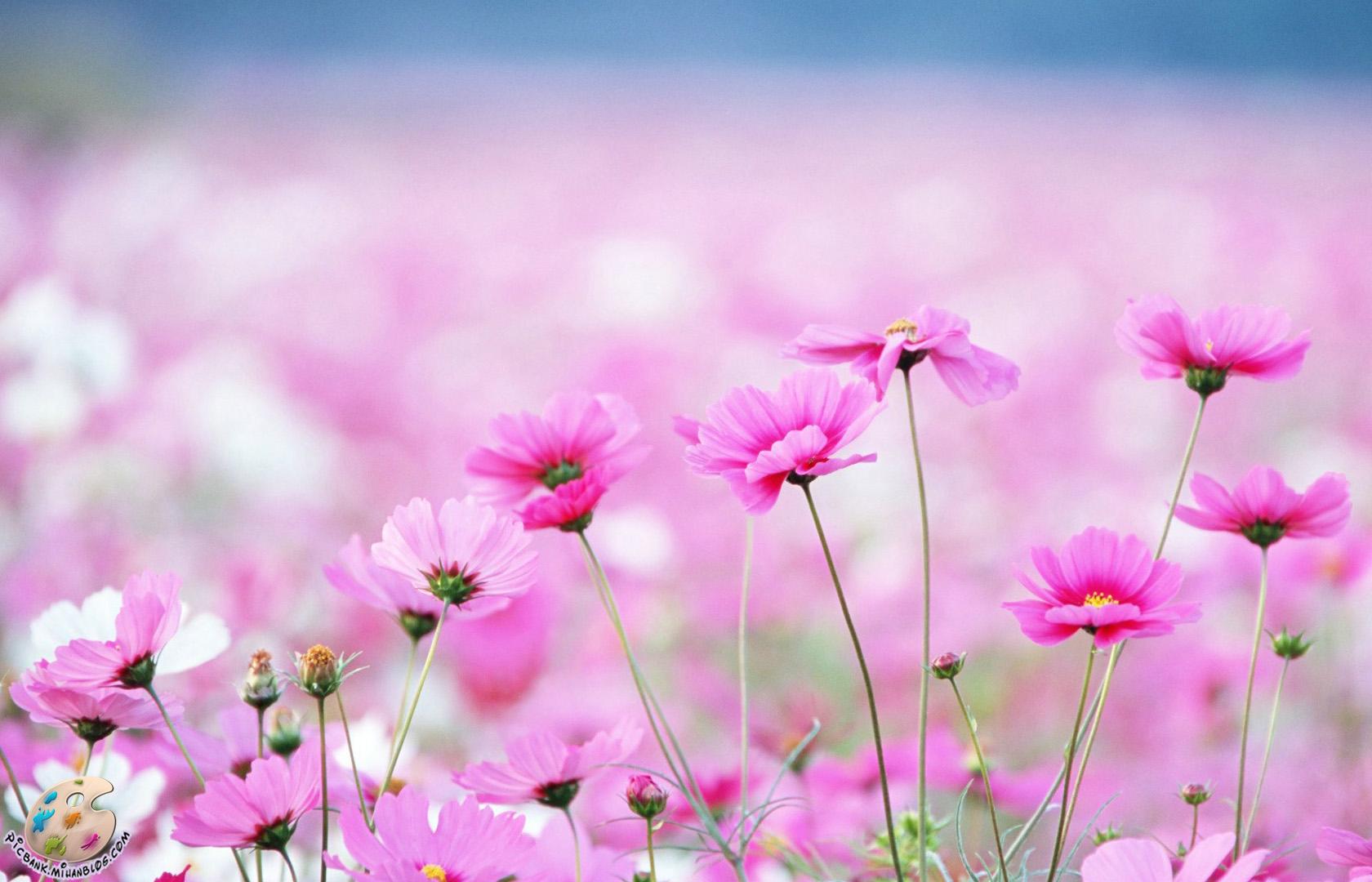 صورتی ، گل صورتی ، گلهای صورتی ، عکس ، عکسهای زیبا ، عکس های زیبا ، عکس باکیفیت ، عکس با کیفیت ، عکسهای باکیفیت ، گل ، عکس گل ، عکسهای گل ، گل و گیاه ، عکس گل و گیاه ، عکسهای گل و گیاه ، والپیپر ، والپیپرهای زیبا ، والپیپر زیبا ، والپیپر گل ، والپیپرهای گل ، والپیپر گل و گیاه ، گلهای زیبا ، گلها ، گل ها ، گل های زیبا ، عکس لطیف ، عکس دیدنی ، عکسهای دیدنی ، طبیعت ، طبیعت زیبا ، عکسهای لطیف ، والپیپر لطیف ، والپیپرهای لطیف ، گلهای رنگارنگ ، گل های رنگارنگ ، عکس گلهای رنگارنگ ، گل صحرایی ، گلهای صحرایی ، بهاری ، گل های بهاری ، بهار ، عکس بهار ، والپیپر بهار ، والپیپرهای بهار ، عکسهای بهار ، والپیپرهای زیبای بهار ، عکسهای دیدنی گل ، گلهای بهاری ، شکوفه ، شکوفه های زیبا ، شکوفه ها ، شکوفه بهاری ، شکوفه های بهاری ، شکوفه زیبا ، شکوفه زیبای بهاری ، شکوفه های زیبا ، شکوفه های زیبای بهاری ، عکس شکوفه ، عکسهای شکوفه ، والپیپر شکوفه ، والپیپرهای شکوفه ، والپیپر بهار ، والپیپرهای بهار ، بک گراند ، بکگراند ، عکس دسکتاپ ، عکسهای دسکتاپ ، عکس بک گراند ، عکسهای بک گراند ، بک گراند کامپیوتر ، دسکتاپ کامپیوتر ،
