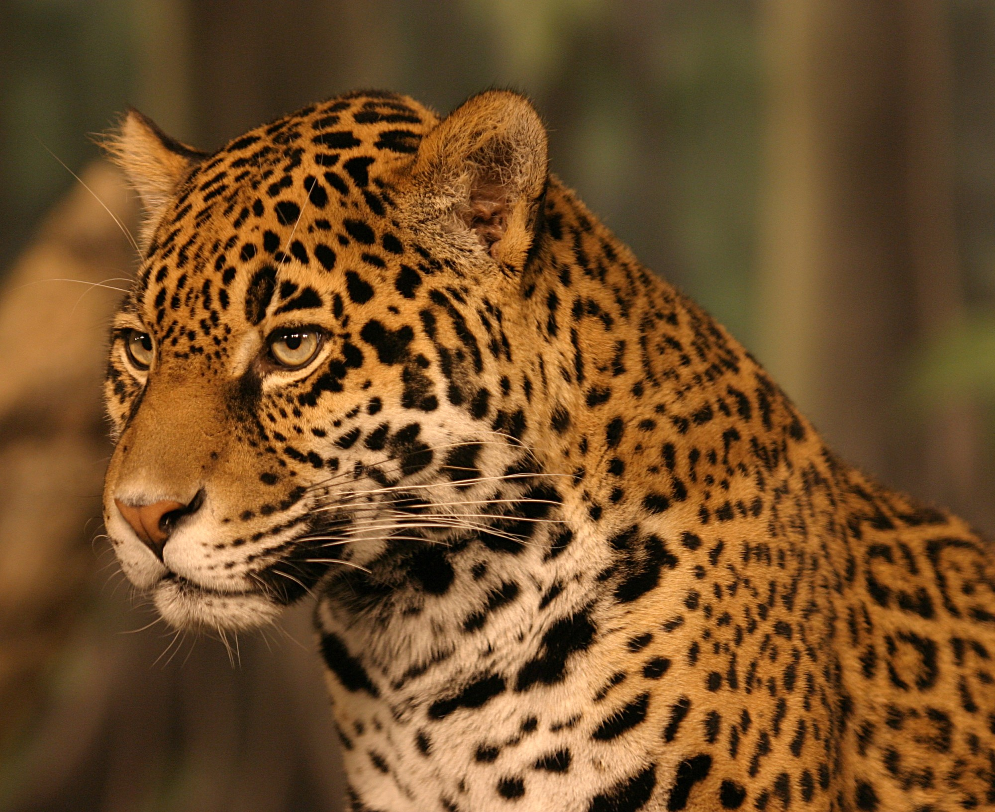 حیوانات ، عکس حیوانات ، عکس های حیوانات ، عکس های زیبای حیوانات ، مدل نقاشی از حیوانات ، نقاشی از حیوانات ، مدل نقاشی ، پلنگ ، عکس پلنگ
