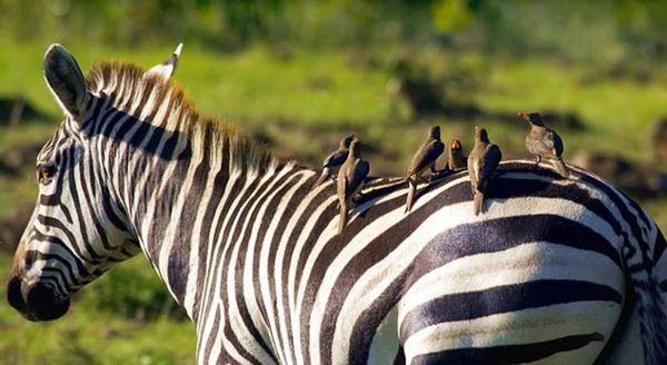 حیوانات ، عکس حیوانات ، عکس های حیوانات ، عکس های زیبای حیوانات ، مدل نقاشی از حیوانات ، نقاشی از حیوانات ، مدل نقاشی ، گورخر ، عکس گورخر