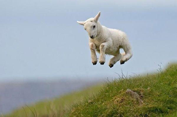 حیوانات ، عکس حیوانات ، عکس های حیوانات ، عکس های زیبای حیوانات ، مدل نقاشی از حیوانات ، نقاشی از حیوانات ، مدل نقاشی ، بره ، گوسفند ، عکس بره ، عکس گوسفند