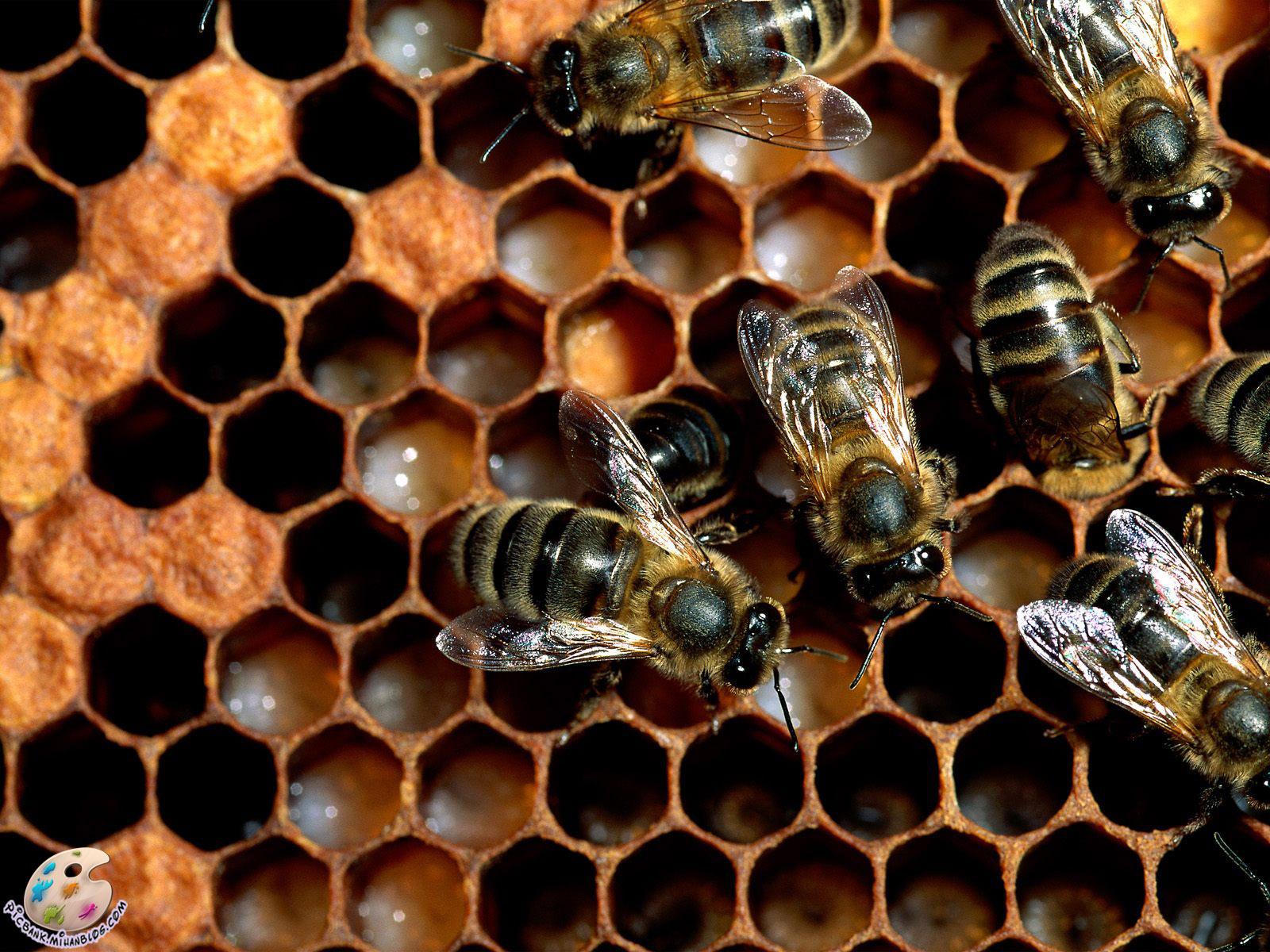 زنبور ، زنبور عسل ، زنبورها ، زنبورهای عسل ، عکس زنبور ، عکسهای زنبور ، عکس زنبور عسل ، عکسهای زنبور عسل ، عکس زنبورها ، عکسهای زنبورها ، زنبورهای عسل ، عکس زنبورهای عسل ، عکسهای زنبورهای عسل ، کندو ، کندوی عسل ، کندوی زنبورهای عسل ، کندوی زنبور عسل ، کندوها ، کندوهای عسل ، کندوهای زنبور عسل ، کندوهای زنبورهای عسل ، عکس ، عکسهای زیبا ، عکس های زیبا ، والپیپر ، والپیپر زیبا ، والپیپرهای زیبا ، عکس دیدنی ، عکسهای دیدنی ، والپیپر دیدنی ، والپیپرهای دیدنی ، جالب ، عکس جالب ، عکسهای جالب ، والپیپر جالب ، والپیپرهای جالب ، تصویر ، تصویر زیبا ، تصویر دیدنی ، تصویر جالب ، تصاویر ، تصاویر زیبا ، تصاویر جالب ، تصاویر دیدنی ، بکگراند ، بکگراند زیبا ، بکگراندهای زیبا ، بک گراند ، بک گراند زیبا ، بک گراندهای زیبا ، حیوان ، حیوانات ، عکس حیوانات ، عکسهای حیوانات ، والپیپر حیوانات ، والپیپرهای حیوانات ، بکگراند حیوانات ، بکگراندهای حیوانات ، بک گراند حیوانات ، بک گراندهای حیوانات ، جانوران ، جانوران مختلف ، جانور ، حیوانات زیبا ، حیوانات گوناگون ، جانوران گوناگون ، حیوانات مختلف ، مدل نقاشی ، مدل نقاشی حیوانات ، نقاشی حیوانات ، نقاشی از حیوانات ، آرشیو عکس ، آرشیو تصویر ، آرشیو عکس و تصویر ، مدل نقاشی زنبور ، نقاشی از زنبور ، picbank ، picbank.com ، picbank.mihanblog.com ، نگارخانه ، نشنال ژئوگرافی ، نشنال ژئوگرافیک ، عکس نشنال ژئوگرافیک ، عکسهای نشنال ژئوگرافیک ، والپیپر نشنال ژئوگرافیک ، والپیپرهای نشنال ژئوگرافیک ، عکس باکیفیت ، عکسهای باکیفیت ، والپیپر باکیفیت ، والپیپرهای باکیفیت ، عکس با کیفیت ، عکسهای با کیفیت ، والپیپر با کیفیت ، والپیپرهای با کیفیت ، عکس باکیفیت حیوانات ، عکسهای باکیفیت حیوانات ، عکس با کیفیت حیوانات ، عکسهای با کیفیت حیوانات ، عکس جالب حیوانات ، عکسهای جالب حیوانات ، عکس دیدنی حیوانات ، عکسهای دیدنی حیوانات ، عکس زیبای حیوانات ، عکسهای زیبای حیوانات ، HD ، عکس HD ، عکسهای HD ، والپیپر HD ، والپیپرهای HD ، عکس HD حیوانات ، عکسهای HD حیوانات ، جانورشناسی ، تحقیق روی حیوانات ، تحقیقات روی حیوانات ، حیات وحش ، حیوانات وحشی ، عکس حیات وحش ، عکسهای حیات وحش ، مدل نقاشی از حیوانات ، زیست شناسی ، زیست شناسی جانوری ، حشرات ، حشرات زیبا ، حشرات مختلف ، حشرات گوناگ
