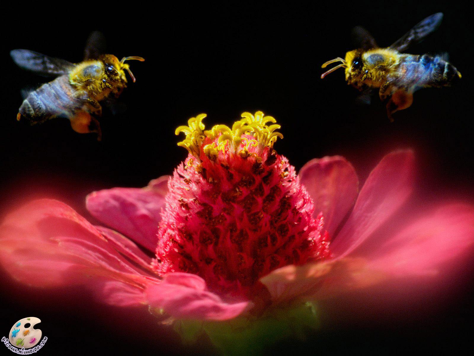 زنبور ، عکس زنبور ، عکسهای زنبور ، زنبورها ، زنبور و گل ، عکس زنبور و گل ، عکسهای زنبور و گل ، گل و زنبور ، عکس گل و زنبور ، عکسهای گل و زنبور ، عکس ، عکسهای زیبا ، عکس های زیبا ، والپیپر ، والپیپر زیبا ، والپیپرهای زیبا ، عکس دیدنی ، عکسهای دیدنی ، والپیپر دیدنی ، والپیپرهای دیدنی ، جالب ، عکس جالب ، عکسهای جالب ، والپیپر جالب ، والپیپرهای جالب ، تصویر ، تصویر زیبا ، تصویر دیدنی ، تصویر جالب ، تصاویر ، تصاویر زیبا ، تصاویر جالب ، تصاویر دیدنی ، بکگراند ، بکگراند زیبا ، بکگراندهای زیبا ، بک گراند ، بک گراند زیبا ، بک گراندهای زیبا ، حیوان ، حیوانات ، عکس حیوانات ، عکسهای حیوانات ، والپیپر حیوانات ، والپیپرهای حیوانات ، بکگراند حیوانات ، بکگراندهای حیوانات ، بک گراند حیوانات ، بک گراندهای حیوانات ، جانوران ، جانوران مختلف ، جانور ، حیوانات زیبا ، حیوانات گوناگون ، جانوران گوناگون ، حیوانات مختلف ، مدل نقاشی ، مدل نقاشی حیوانات ، نقاشی حیوانات ، نقاشی از حیوانات ، آرشیو عکس ، آرشیو تصویر ، آرشیو عکس و تصویر ، مدل نقاشی زنبور ، نقاشی از زنبور ، picbank ، picbank.com ، picbank.mihanblog.com ، نگارخانه ، نشنال ژئوگرافی ، نشنال ژئوگرافیک ، عکس نشنال ژئوگرافیک ، عکسهای نشنال ژئوگرافیک ، والپیپر نشنال ژئوگرافیک ، والپیپرهای نشنال ژئوگرافیک ، عکس باکیفیت ، عکسهای باکیفیت ، والپیپر باکیفیت ، والپیپرهای باکیفیت ، عکس با کیفیت ، عکسهای با کیفیت ، والپیپر با کیفیت ، والپیپرهای با کیفیت ، عکس باکیفیت حیوانات ، عکسهای باکیفیت حیوانات ، عکس با کیفیت حیوانات ، عکسهای با کیفیت حیوانات ، عکس جالب حیوانات ، عکسهای جالب حیوانات ، عکس دیدنی حیوانات ، عکسهای دیدنی حیوانات ، عکس زیبای حیوانات ، عکسهای زیبای حیوانات ، HD ، عکس HD ، عکسهای HD ، والپیپر HD ، والپیپرهای HD ، عکس HD حیوانات ، عکسهای HD حیوانات ، جانورشناسی ، تحقیق روی حیوانات ، تحقیقات روی حیوانات ، حیات وحش ، حیوانات وحشی ، عکس حیات وحش ، عکسهای حیات وحش ، مدل نقاشی از حیوانات ، زیست شناسی ، زیست شناسی جانوری ، حشرات ، حشرات زیبا ، حشرات مختلف ، حشرات گوناگون ، عکس حشرات ، عکسهای حشرات ، والپیپر حشرات ، والپیپرهای حشرات ، حشره ، عکس حشره ، عکسهای حشره ، والپیپر حشره ، والپیپرهای حشره ، حشره شناسی ، تحقیق روی حشرات ، تحقیقات رو